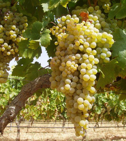 Macabeo Caudalia Wine Box Diciembre 2016 Cava