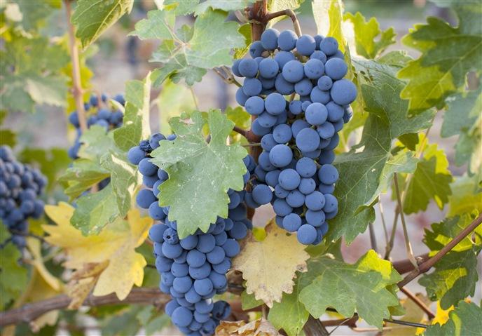 Cepa Cabernet Sauvignon. Caudalia Wine Box Agosto 2016